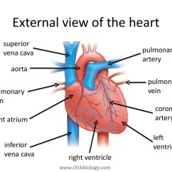 External Heart Diagram One Line Electrical Riser Structure And Function презентация онлайн