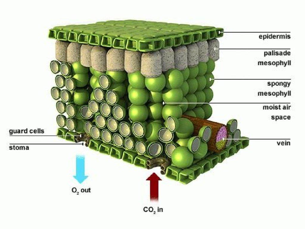 palisade cell diagram plant kenwood wiring harness colors Ткани растений и животных презентация онлайн