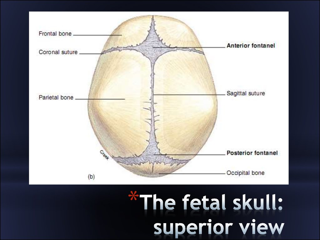diagram of skull superior view anatomy critical path network example clinical the head презентация онлайн