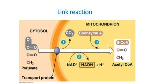 Stages of the energy metabolism  online presentation