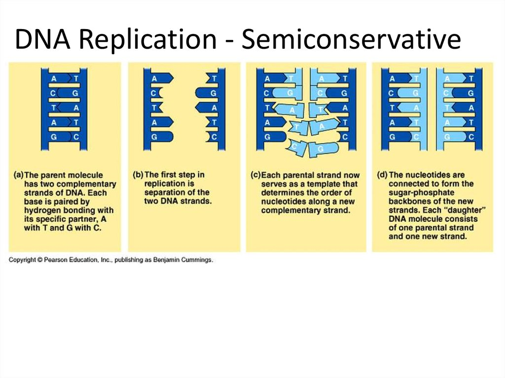 dna translation diagram 91 jeep wrangler wiring replication, rna structure & function, and compare - online presentation
