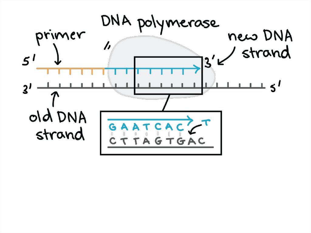 DNA Replication, RNA Structure & Function, and Compare DNA
