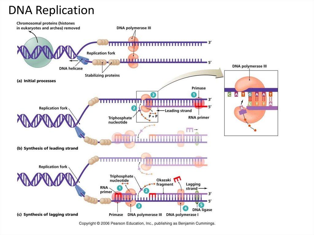 Process Replication Protein Diagram