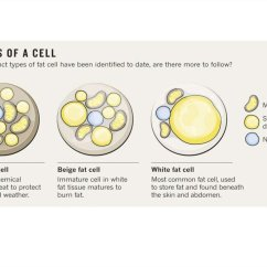 White Fat Cell Diagram Network Rj45 Wiring Immunophysiology Of Obesity Online Presentation