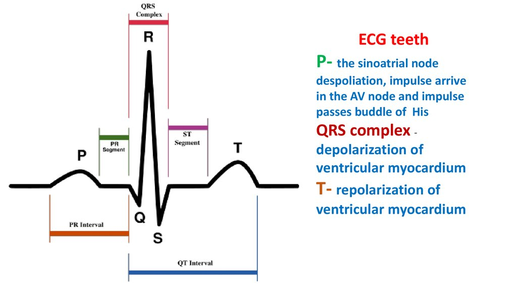 The Cardiac Cycle And Ecg
