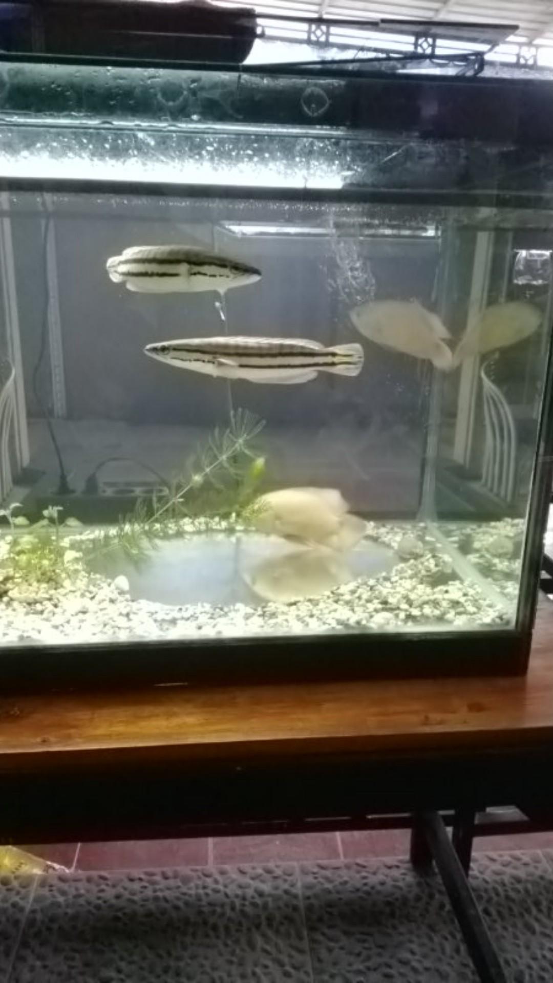Harga Ikan Oscar Paris Albino : harga, oscar, paris, albino, Oscar, Paris, Albino, Shopee, Indonesia