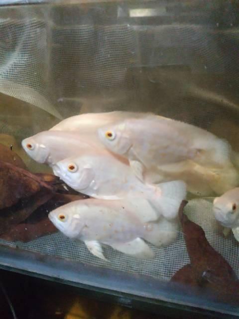 Harga Ikan Oscar : harga, oscar, Oscar, Albino, Shopee, Indonesia