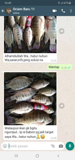 Umpan Ikan Mujair Babon : umpan, mujair, babon, Essen, Umpan, Lumut, Aroma, Wangi, Babon, Mancing, Cirata, Jatiluhur, Shopee, Indonesia