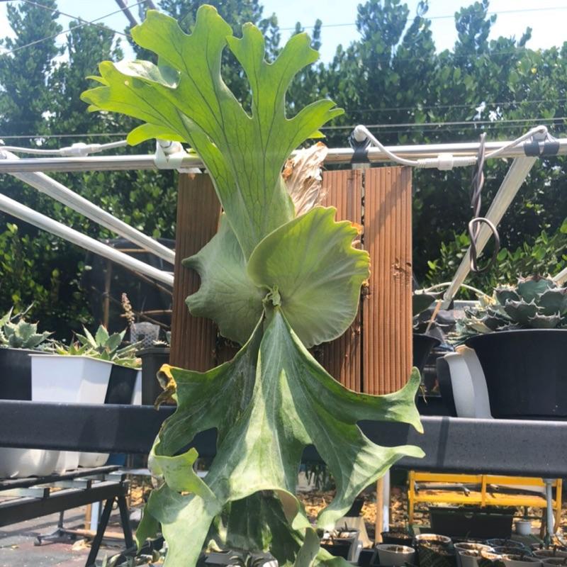 上板蝴蝶鹿角蕨Platycerium wallichii   蝦皮購物