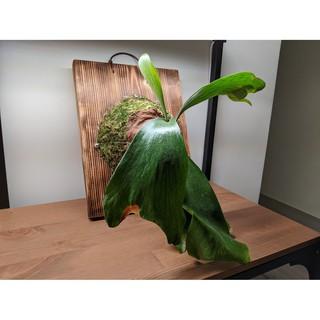 愛麗絲鹿角蕨 Platycerium ellissii 鹿角蕨上板 /室內植物 / 觀葉植物 / 雨林植物 / 碳化木板   蝦皮購物