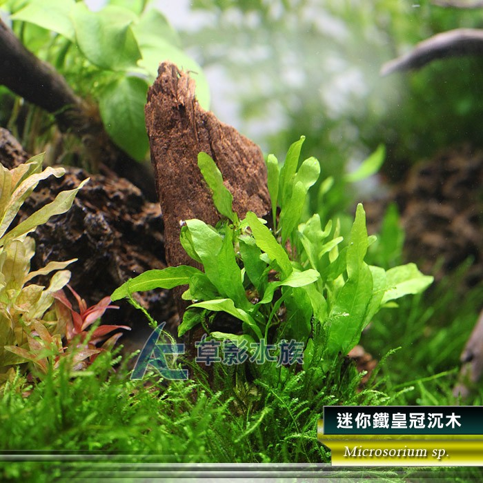 【AC草影】迷你鐵皇冠沉木【一棵】   蝦皮購物