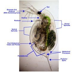 Rotifer Diagram Labeled 7 Pin Color Code An Image Based Key To The Zooplankton Of North America