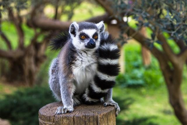 ring tailed lemur behavior