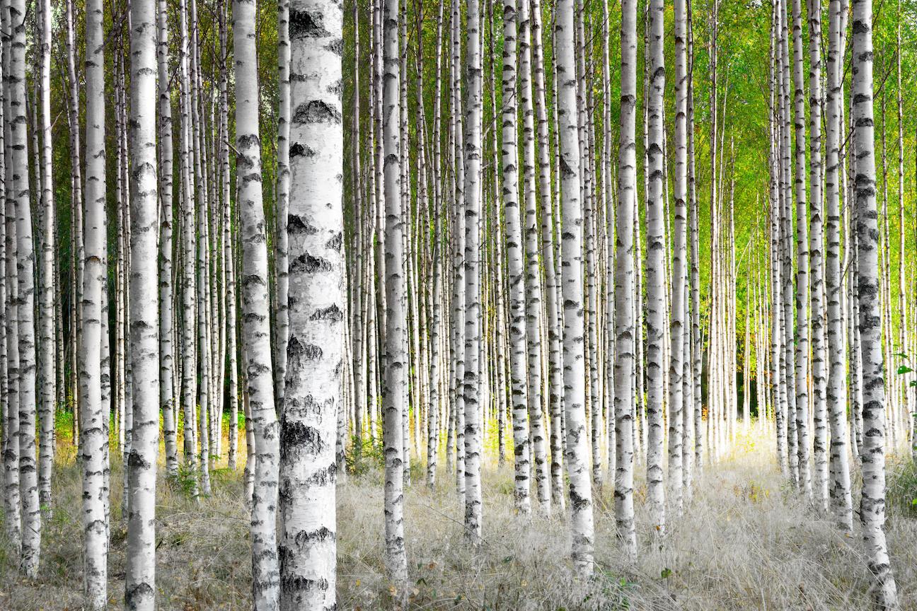 the evolution of birch