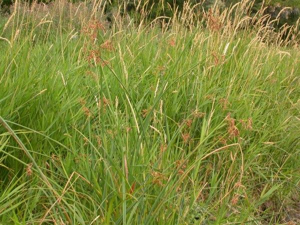 Soft Stem Bulrush Scirpus VALIDUS