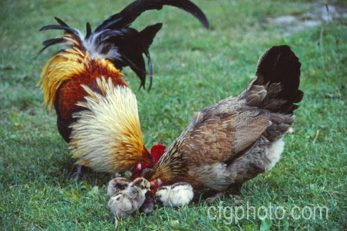 Royalty Free Chicken Breeds Stock