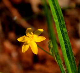 Yellow Star Grass (Hypoxis hirsuta)