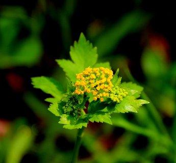 Hairy joint meadow parsnip (Thaspium barbinode)?