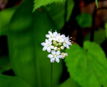 Speckled Wood Lily (Clintonia umbellata)