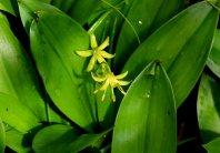 Blue-bead lily (Clintonia borealis)