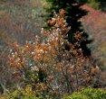 Allegheny (Smooth) Serviceberry (Amelanchier laevis)
