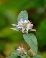 Basil beebalm (Monarda clinopodia)