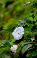 Hedge bindweed (Calystegia sepium)