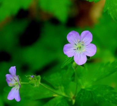 Wild geranium Geranium maculatum)