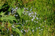 Bluets (Houstonia)