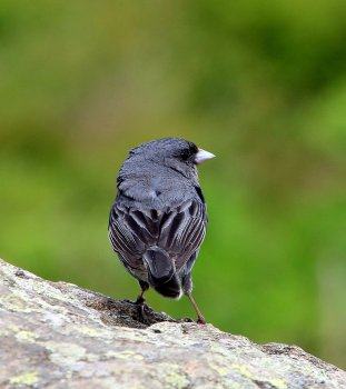 Possibly a Dark-eyed Junco (Junco hyemalis)