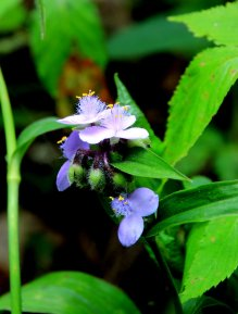 A Spiderwort (Tradescantia)