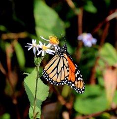 Monarch & Aster