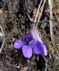 Probably Common Blue Violet (Viola sororia)