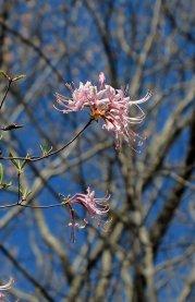 Pinxterflower (Rhododendron periclymenoides)