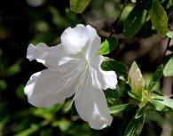 An azalea