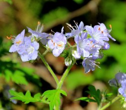 Possibly a pale Purple Phacelia (Phacelia bipinnatifida)