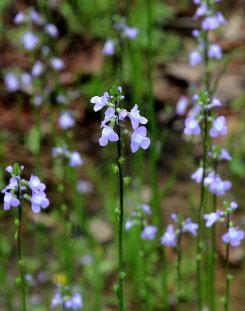 Blue Toadflax (Nuttallanthus canadensis)