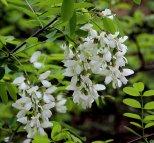 Probably Black Locust (Robinia pseudoacacia)