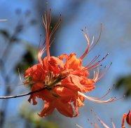 Flame Azalea (Rhododendron calendulaceum)