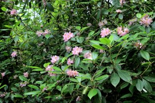 Provbably Rhododendron minus