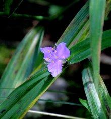 Spiderwort (Tradescantia)