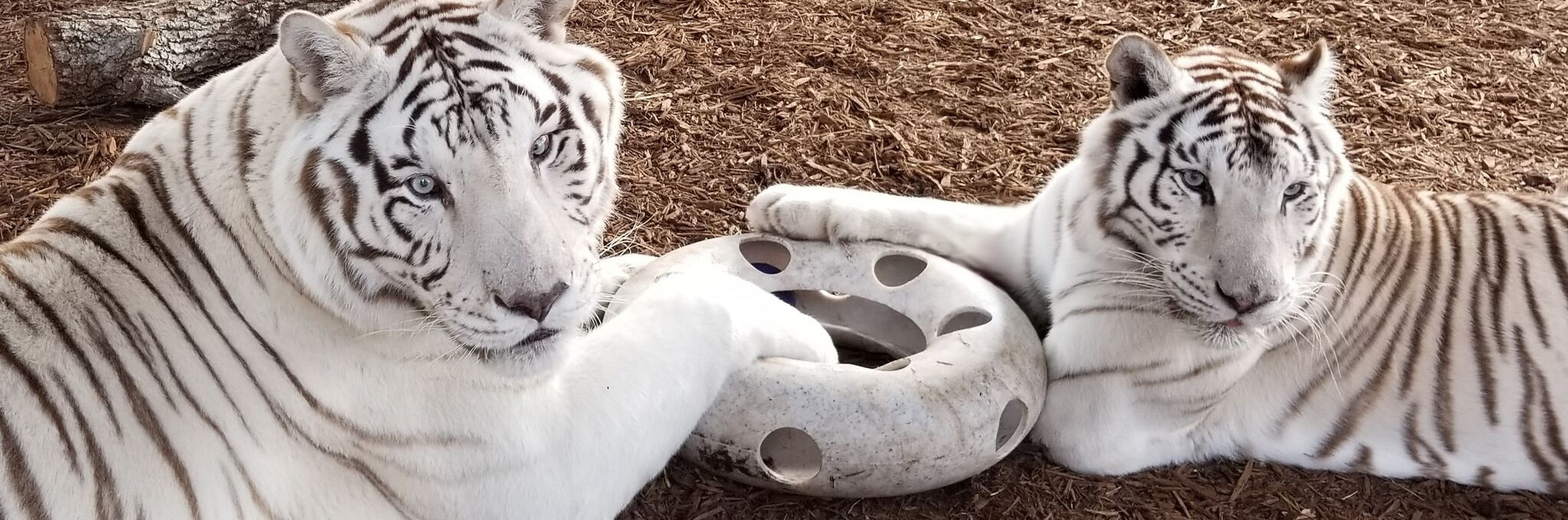 Two White Bengal Tigers - Central Florida Animal Reserve