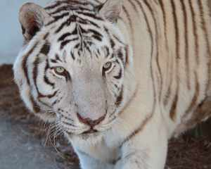 White Bengal Tiger Close Up - Central Florida Animal Reserve