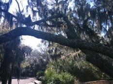 The tangled, moss-draped trees of old Arlington.