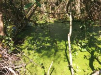 Yes, it's time for pond scum. This slimy scene is not far from Fort Caroline.
