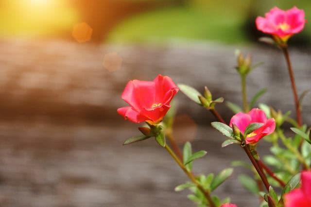 Benefícios e propriedades do chá de amor crescido
