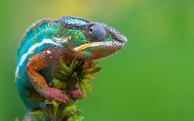 nature_chameleons_reptiles_1920x1200