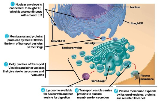 eukaryotic endomembrane system cell diagram 2006 impala factory stereo wiring easy chemistry mitochondria are the sites of cellular respiration chemical energy conversion found in nearly all cells