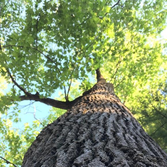Northwoods-tree