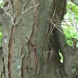 Honey_locust_thorns